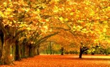 秋季枫树枫叶风景图片