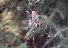花蜘蛛图片