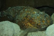 石头鱼图片