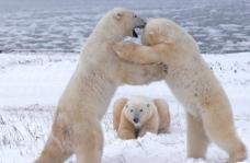 北极熊的游戏图片