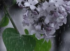 雨中的丁香花图片