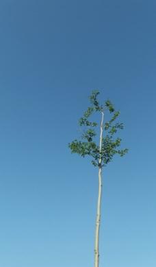 大榕树图片