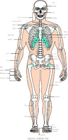 骨骼0027
