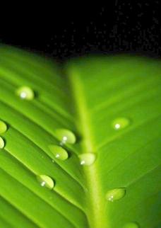 绿叶上的水珠图片
