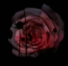 黑色的玫瑰图片