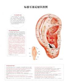 标准耳部反射区挂图图片