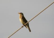 电线上的鸟图片