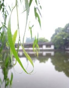 青翠的柳叶图片