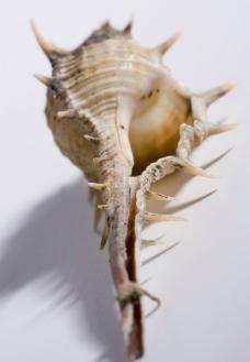 米黄有刺海螺图片