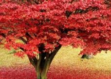 自然风光 枫叶图片